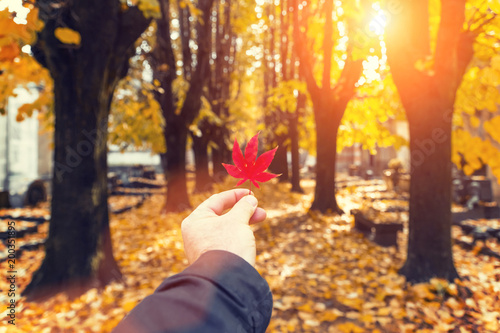 A man's hand holds a red maple leaf in an autumn park on a sunny day