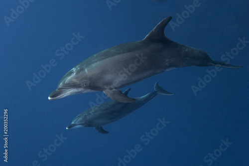 Tuinposter Dolfijn Bottlednosed Dolphin at Revillagigedos Archipelago