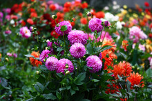 Lilac A Dahlia./In The Foregro...