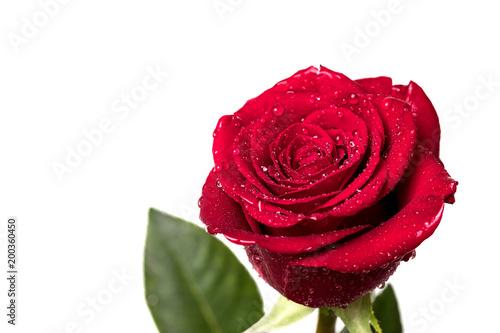 Plakat róża i czerwone płatki z białym tłem