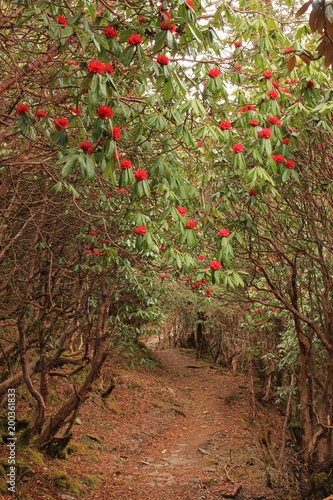Poster Nepal Path leading trough a blooming rhododendron forest in Helambu, Nepal. Springtime in Nepal. Blooming red rhododendron. National flower of Nepal.