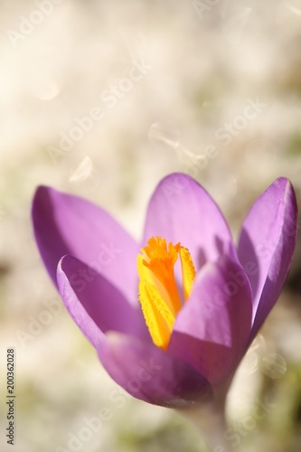 Foto op Canvas Krokussen purple crocus