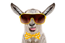 Portrait Of Funny Gray Goat In A Sunglasses And Bow Tie, Showing The Tongue, Isolated On White Background