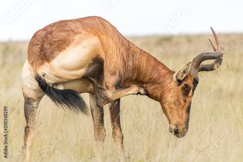 Foto op Canvas Antilope Red hartebeest