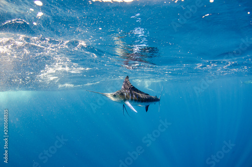 Striped marlin off the mexican coast Canvas Print