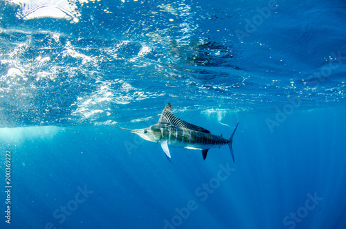 Photo  Striped marlin off the mexican coast