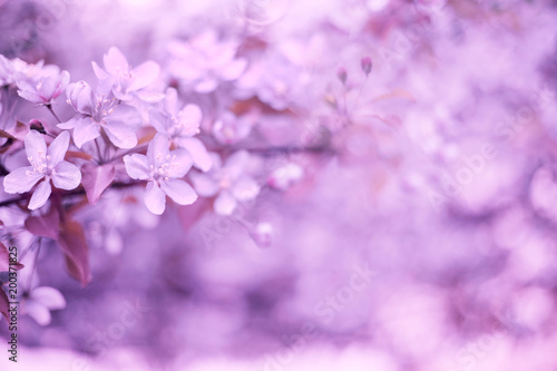 Poster Blanc Sprinh background blooming apple tree