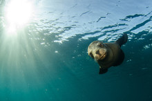 Californian Sea Lion (Zalophus...