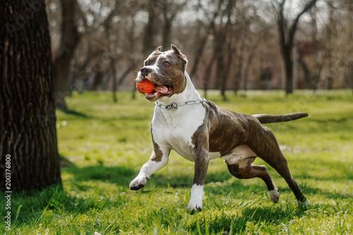 Obraz amstaff terrier dog spring walk in park - fototapety do salonu