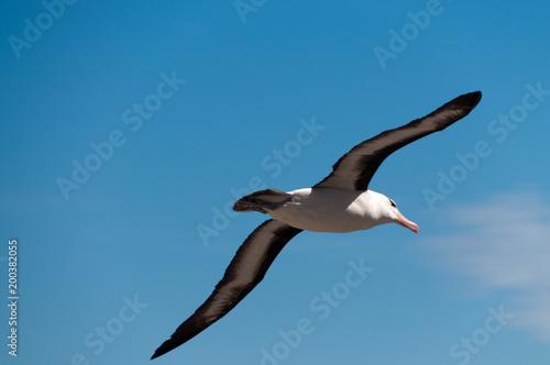 Fotografía  Black-Browed Albatross on Westpoint Island