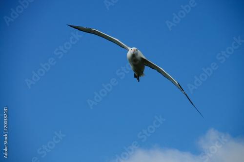 Fotomural  Wandering Albatross in Flight