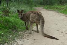 Big Kangaroo On A Path
