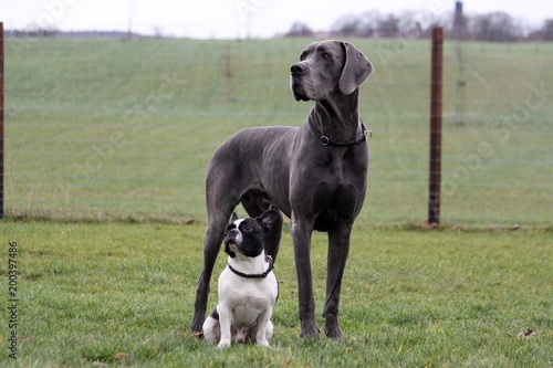 Poster Bouledogue français portrait from a french bulldog and a great dane in the garden