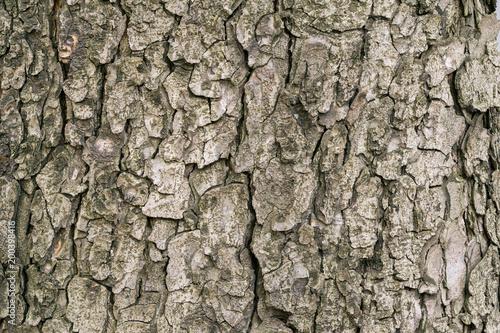 Kastanienrinde eines Kastanienbaum   in Nahaufnahme