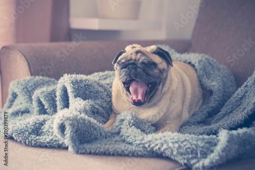 Obraz pug on the sofa already waked up - fototapety do salonu