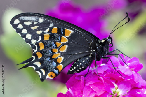 Fotografía Eastern black swallowtail butterfly on purple stock flower