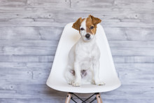 Portrait Of A Beautiful Small Dog Sitting On A White Chair Over Grey Wood Background. He Is Looking At The Camera. Cute Dog. Pets Indoors. LIfestyle