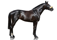 The Powerfull Dark Bay Thoroughbred Stallion Standing Isolated On White Background. Side View