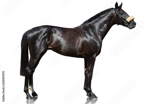 Fototapeta The powerfull dark bay thoroughbred stallion standing isolated on white background. side view obraz