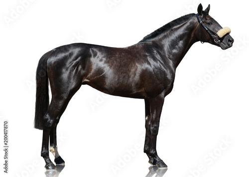 Fototapeta The powerfull dark bay thoroughbred stallion standing isolated on white background. side view obraz