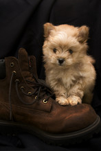 Puppy On Boot