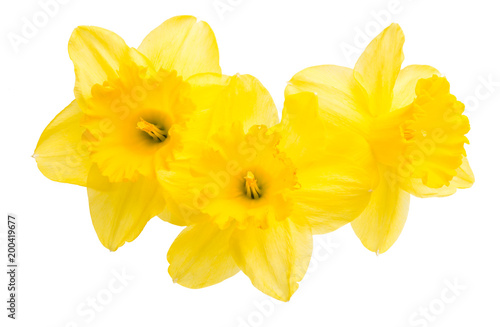 In de dag Narcis daffodil flower isolated