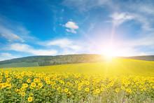 Bright Sun Above Sunflower Fie...