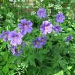 Geraniaceae, blue flowering perennial in summer