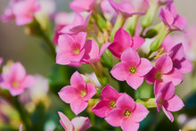 Macro Of Pink Kalanchoe Blossf...