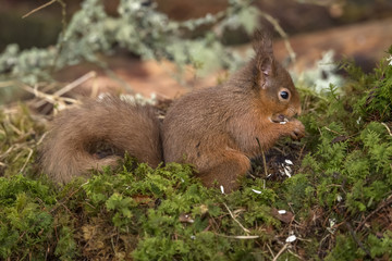 Naklejka na ściany i meble Red Squirrel on moss in a forest eating a nut
