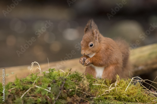 Printed kitchen splashbacks Squirrel Red Squirrel on moss in a forest eating a nut