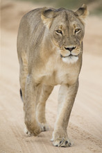 Close-up Of A Lioness In The Kalahari Walking Along A Dirt Road