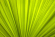 canvas print picture - green natural background, texture - a wide leaf surface of a tropical plant (date palm)..