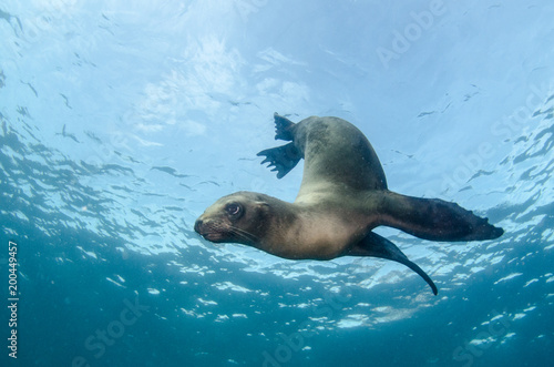 Fotografie, Obraz  Californian sea lion (Zalophus californianus) swimming and playing in the reefs of los islotes in Espiritu Santo island at La paz,