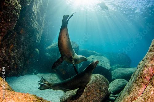 Californian sea lion (Zalophus californianus) swimming and playing in the reefs of los islotes in Espiritu Santo island at La paz,. Baja California Sur,Mexico.