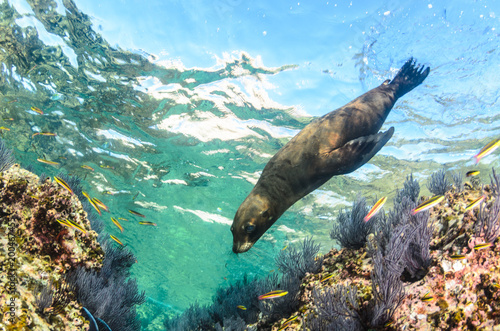 Californian sea lion (Zalophus californianus) swimming and playing in the reefs of los islotes in Espiritu Santo island at La paz,The world's aquarium. Baja California Sur,Mexico.