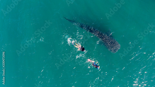 People snorkeling with a whale shark