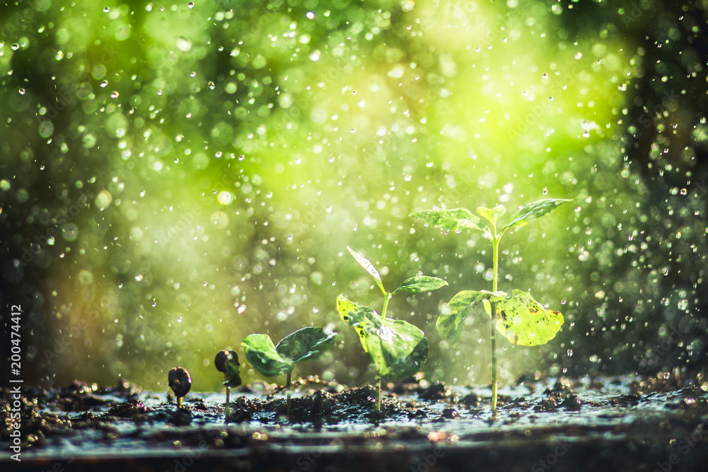 Fototapety, obrazy: Growing Coffee Beans Watering and rain sapling Natural light and background