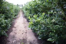 Field Of Blueberries, Row Of B...