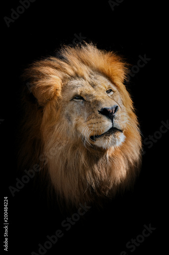 Fotobehang Leeuw The lion, panthera leo. Portrait of majestic mammal. Face of african beast. Big male lion's head.