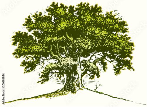 Stare drzewo dębowe