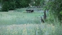 Turkey Wild In The Field HD