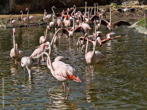 Foto op Aluminium Flamingo Flock of Rosy Flamingo, Phoenicopterus ruber roseus, at wedding dances