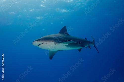 Bull shark Bahamas Bimini
