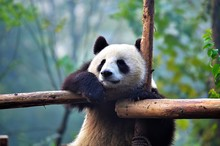 Panda Bear Hangging On A Tree Branch, China Wildlife. Bifengxia Nature Reserve, Sichuan Province.