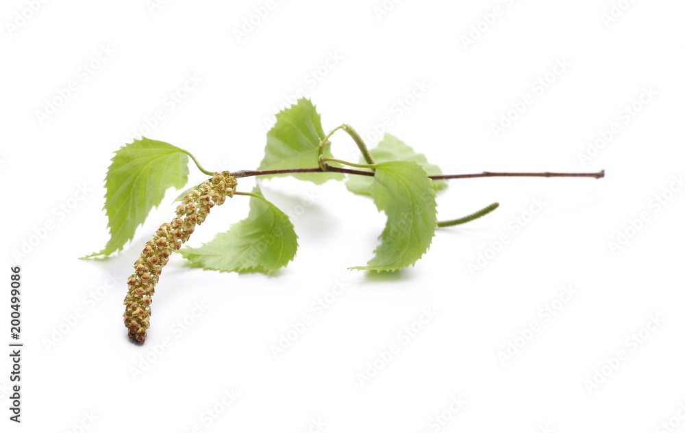 Young birch branch with leaves isolated on white background