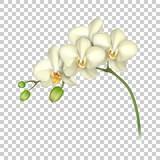 White orchid realistic transparent background. Tropical exotic flower. Vector illustration