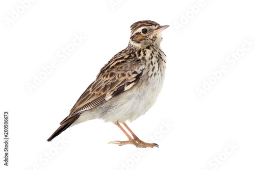 Valokuvatapetti Wood Lark (Lullula arborea) isolated on a white background