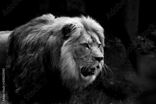 Staande foto Buffel konzentrierter Löwe