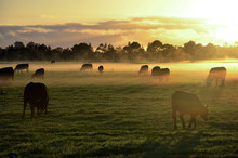 Rural Landscape With Herd Of C...